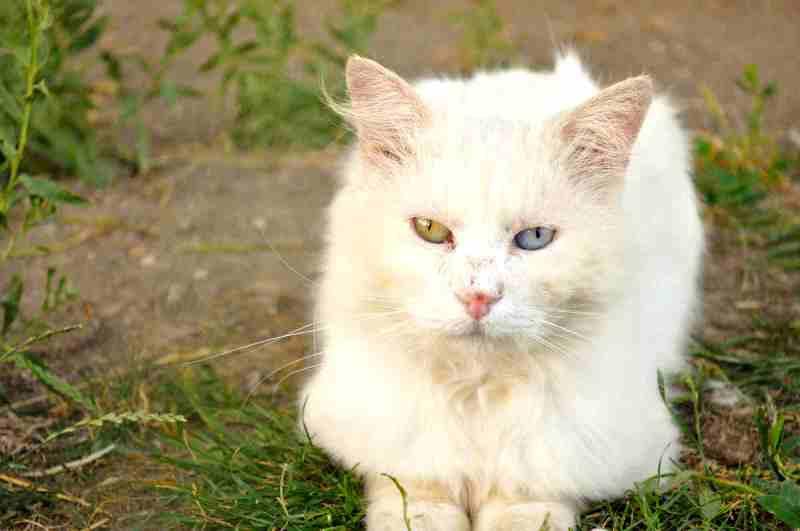 Velika debela mesnata maca